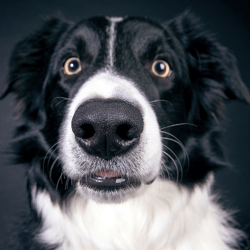Border Collie Whiskers