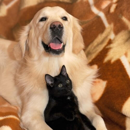 Cat lying with dog and resting